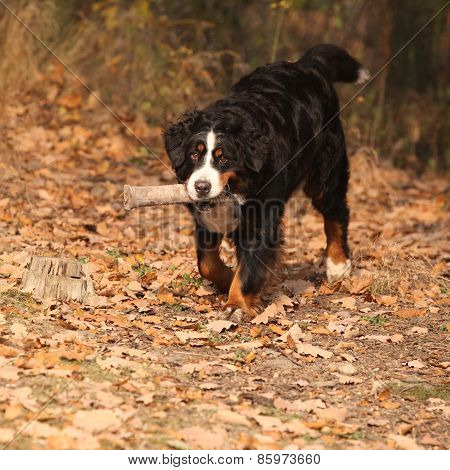 Beautiful Bernese Mountain Dog Running