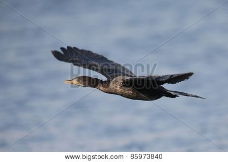 Reed Cormorant Flying Over Water To Spot For Fishing