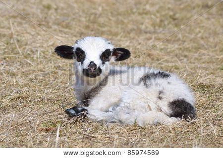 Little lamb standing alone