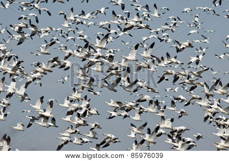 Massive Flock of Snow Geese Flying Over the Marsh