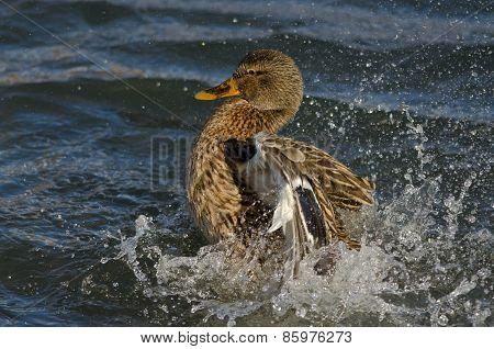 Mallard Duck Playfully Splashing On The Water
