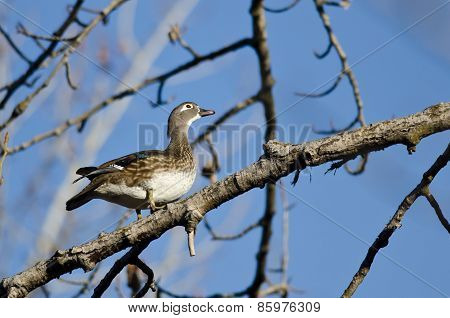 Female Wood Duck Looking To The Sky While Perched In A Tree