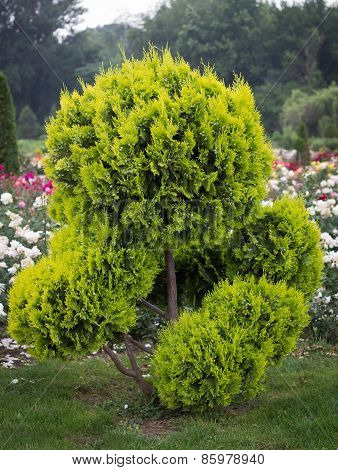 Decorative Tree In Formal Garden