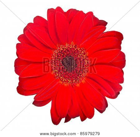 red gerbera bloom isolated on white background