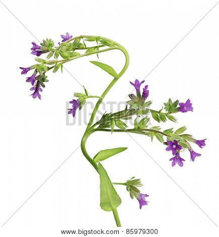 wild plant with purple flowers isolated on white background