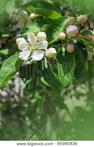 Blossoming Spring Apple Tree