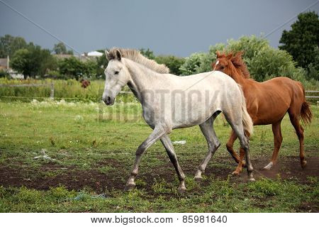 White Horse Trotting Free At Flower Field
