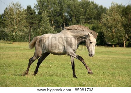 Young Gray Andalusian Spanish Horse Galloping Free