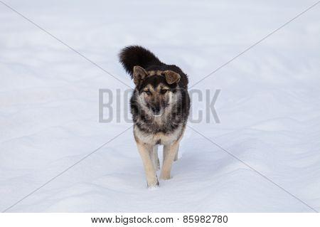 Faithful Georgian dog