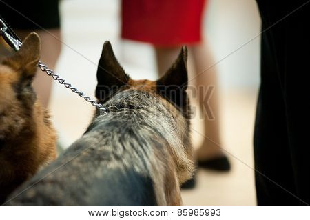 Listening Ears Of German Sheperd