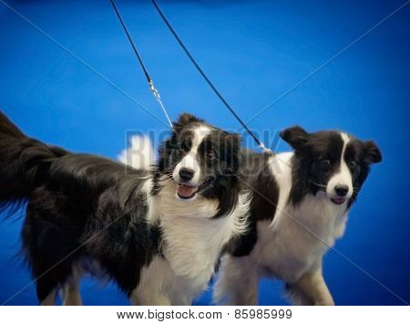 Two Border Collies Portrait At The Prize Ring On Dog Show