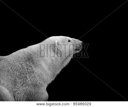 Polar Bear Isolated On Black Monochrome Portrait