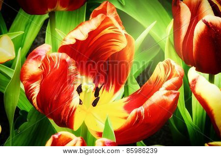 Blooming Spring Tulips