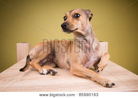 Portrait of a small dog lying on the desk