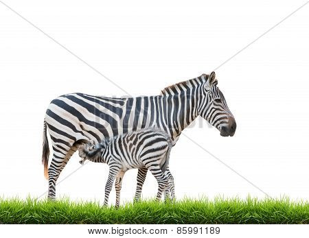 Zebra Was Breastfeeding