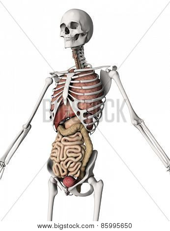 3D render of a skeleton with internal organs