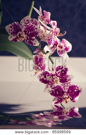 White And Purple Speckled Phalaenopsis Orchid Spike with Blooms