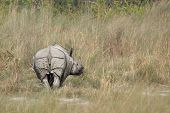 stock photo of greater  - Rhinoceros unicornis - JPG