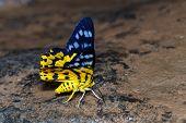 stock photo of suck  - Dysphania militaris moths sucking food from water - JPG