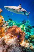 foto of coral reefs  - Reef with a variety of hard and soft corals and shark in the background - JPG