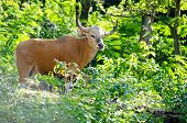 stock photo of endangered species  - Banteng was in Red List of Threatened Species in Endangered species in nature Thailand and it looking something on the rock - JPG