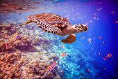 picture of hawksbill turtle  - Hawksbill Turtle  - JPG