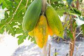 picture of papaya fruit  - green and yellow papaya fruit on tree trunk - JPG