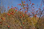 foto of wild-brier  - Branches of wild rose in sun day - JPG