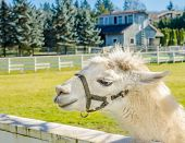 picture of lamas  - Portrait of a lama on farm - JPG