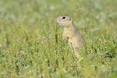 picture of gopher  - gopher in the nature in the spring time - JPG