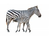 stock photo of breastfeeding  - Zebra was breastfeeding isolated on white background - JPG
