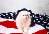 pic of ferrets  - Little cute ferret on the USA flag background