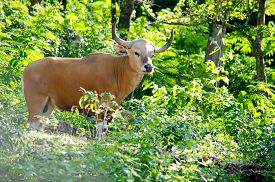 foto of species  - Banteng was in Red List of Threatened Species in Endangered species in nature Thailand and it looking something on the rock - JPG