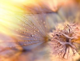 stock photo of dandelion seed  - Beautiful dandelion seeds  - JPG