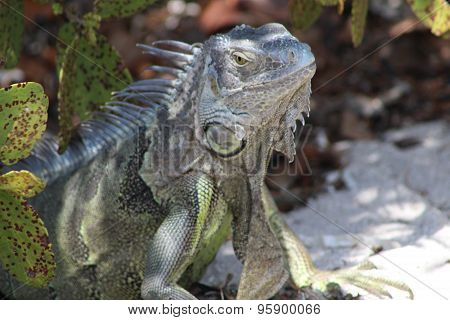 gray and green large iguana reptile