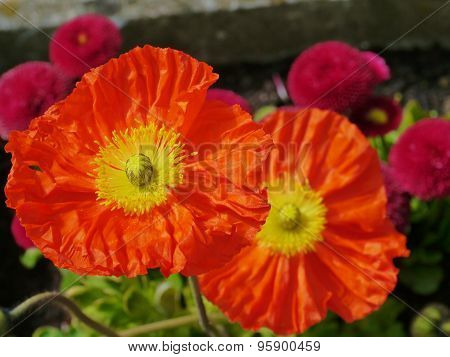 Cultivated flowers of the poppy family