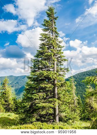 Carpathian Fir Tree