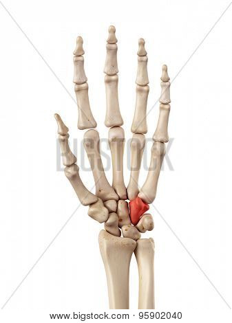 medical accurate illustration of the hamate bone