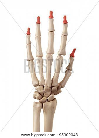medical accurate illustration of the distal phalanx bones