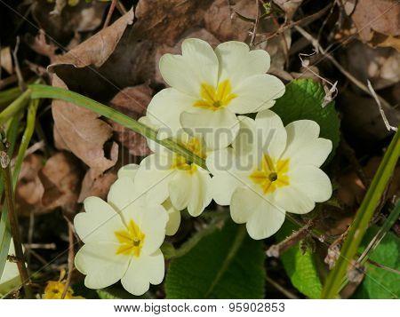 Flowering primulas during springtime