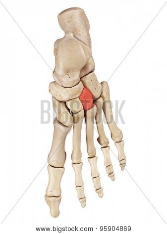 medical accurate illustration of the lateral cuneiform bone