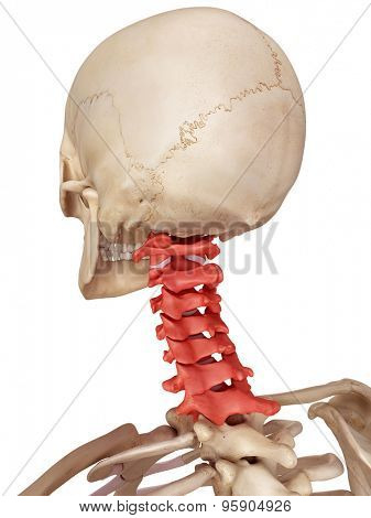 medical accurate illustration of the cervical spine