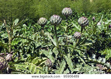 Globe artichoke florets in a veg allotment