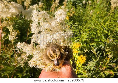 Duckling Among The Wildflowers