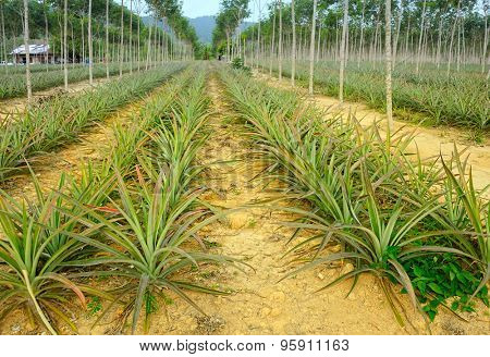 plantation of pineapples
