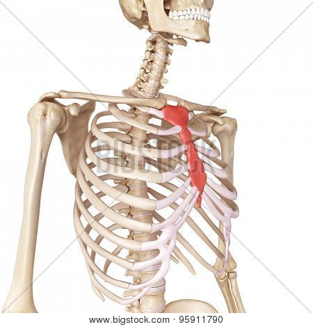 medical accurate illustration of the breast bone