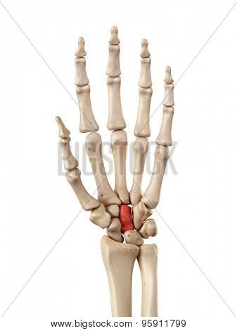medical accurate illustration of the capitale bone