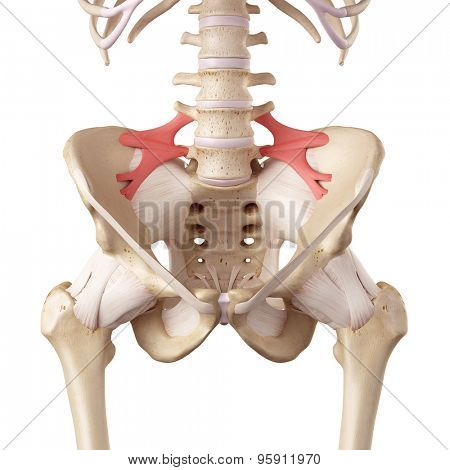 medical accurate illustration of the iliolumbar ligament