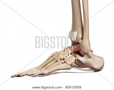 medical accurate illustration of the anterior talofibular ligament