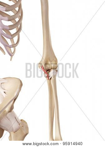 medical accurate illustration of theulnar collateral ligament posterior